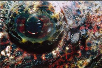 BUFFALO SCULPIN EYE
