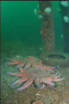 SUNFLOWER STARS UNDER DOCK