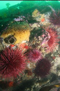 sponge, urchins, etc