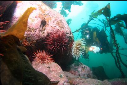 anemone and urchins