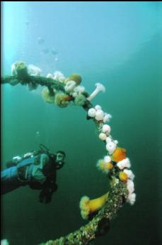 PLUMOSE ANEMONES ON STEEL CABLE