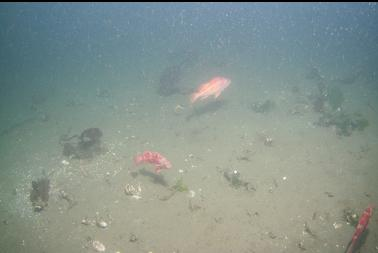 vermilion and canary rockfish over silty bottom