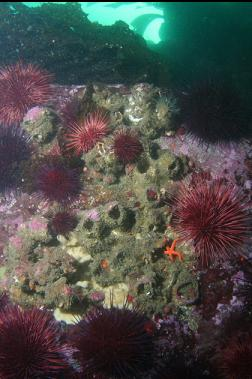 urchins and giant barnacles