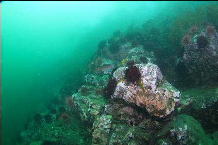 kelp greenling and rocky slope