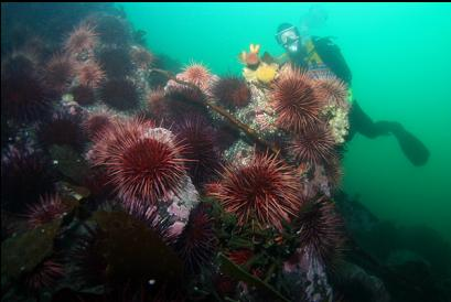 urchins at end of reef