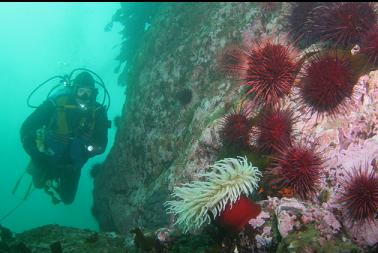 urchins and fish-eating anemone deeper down