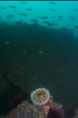 fish-eating anemone and rockfish under wall