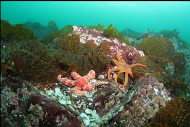 seastars and bottom kelp