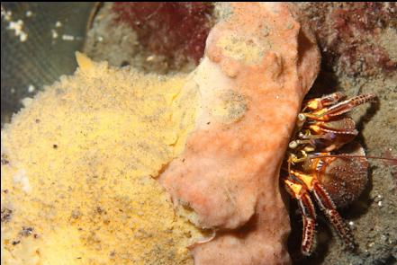 hermit crab with a nudibranch eating the sponge