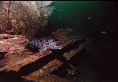 LINGCOD ON WRECK