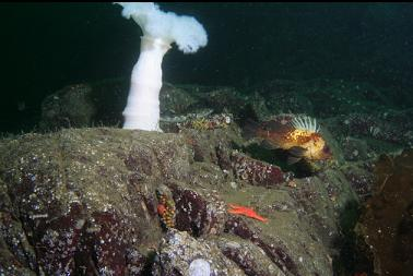 quillback rockfish and plumose anemone