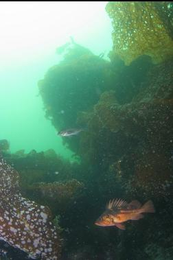 ROCKFISH AND BOTTOM KELP