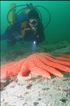 SUNFLOWER STAR ON SANDY BOTTOM