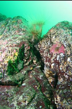 tube-dwelling anemones and copper rockfish
