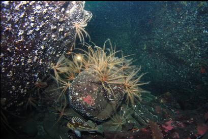 copper rockfish and feather stars