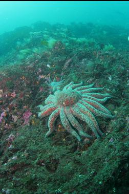 sunflower star below hydroids