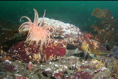 quillback rockfish and crimson anemone