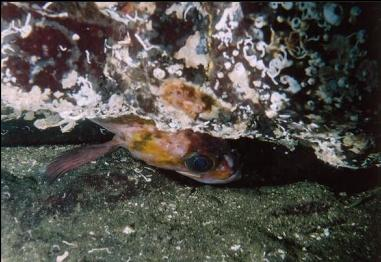 COPPER ROCKFISH IN CREVICE