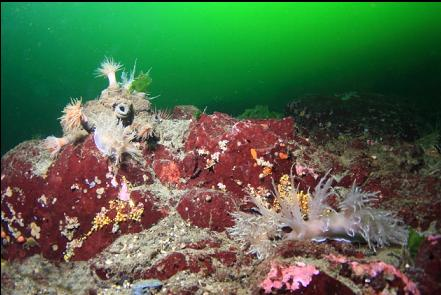 tube-dwelling anemones and giant nudibranchs