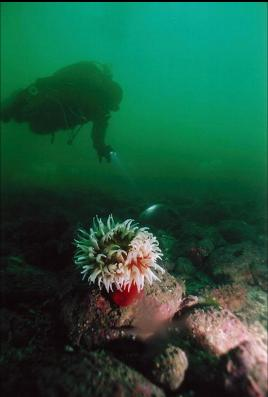 FISH-EATING ANEMONE AT BASE OF WALL