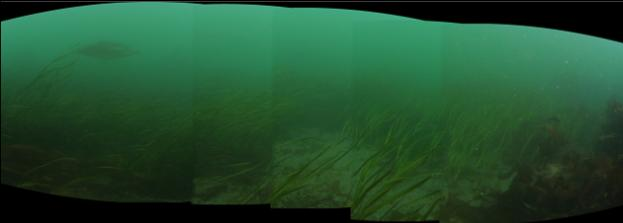 eelgrass panorama