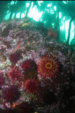 fish-eating anemone and urchins