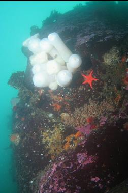 plumose anemones near top of wall