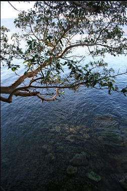 ARBUTUS TREE OVER WATER