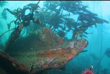 stalked kelp on wreckage