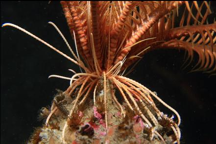 feather star on cemented tube worms