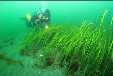 back up in the eelgrass