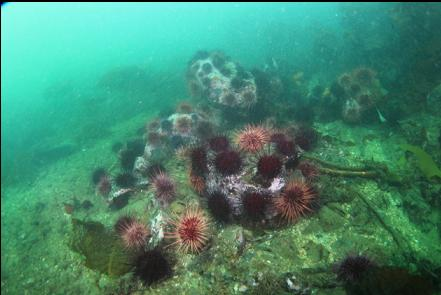 urchins at the Southern tip of the islets