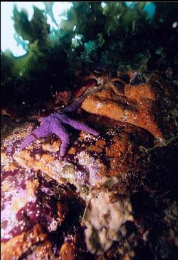 PURPLE SEASTAR OVER SPONGE AND TUNICATES