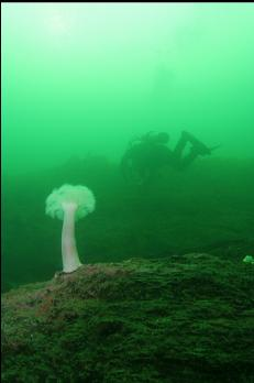 OTHER DIVER AND ANEMONE