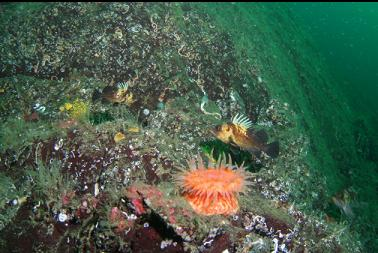 swimming anemone and quillback rockfish