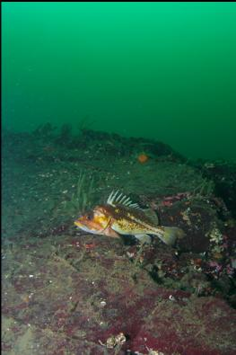 COPPER ROCKFISH ON WALL