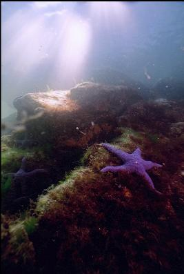 PURPLE SEA STAR IN SHALLOWS