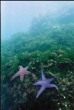 SEA STARS IN SHALLOWS