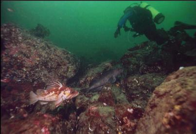 COPPER ROCKFISH AND LINGCOD