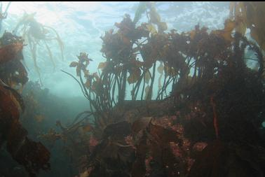 stalked kelp in shallows