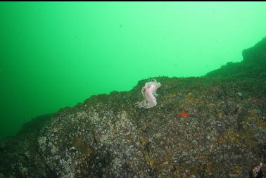 swimming nudibranch next to wall