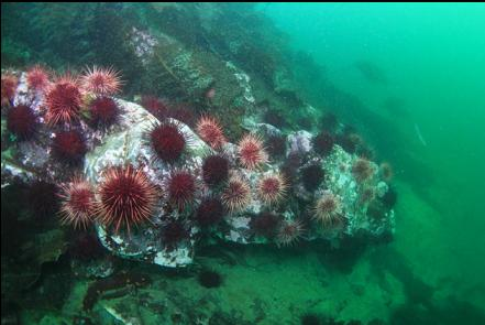 urchins at the base of the rocky slope