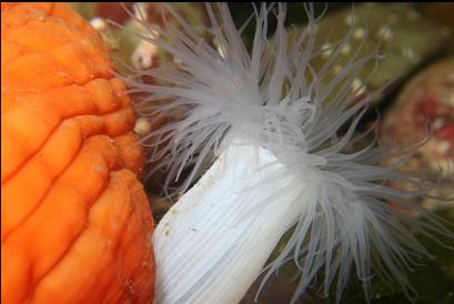 small white and large orange plumose anemones
