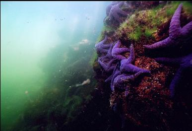 PURPLE SEA STARS IN SHALLOWS