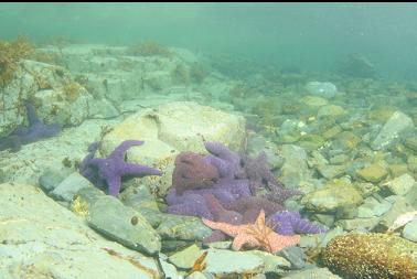 seastars in bay