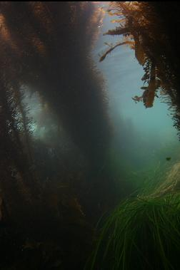 surf grass and kelp
