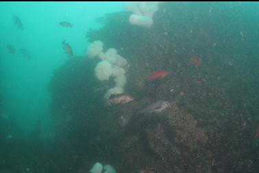 rockfish and anemones in bad visibility