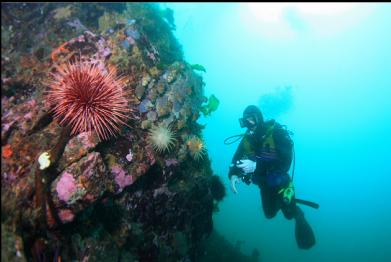 crimson anemones and urchin