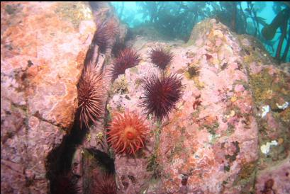 anemone, urchins and pink coraline algae