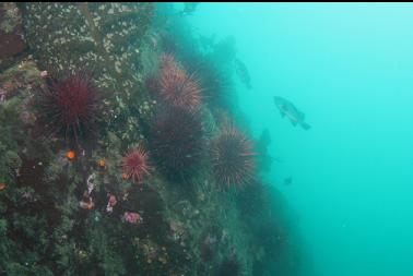 urchins and rockfish